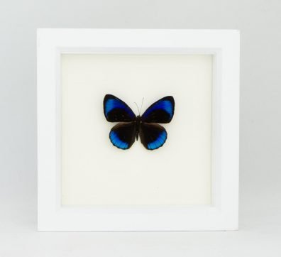 Framed Midnight Blue Butterfly (Eunica alcmena)