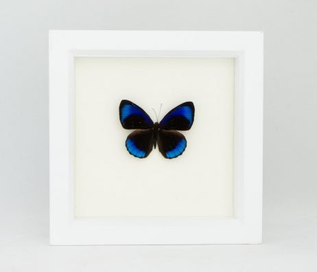 framed midnight butterfly