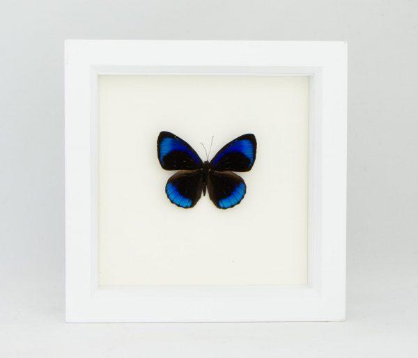framed midnight butterfly