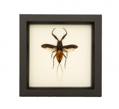 Framed Giant Water Bug (Nepa rubra)