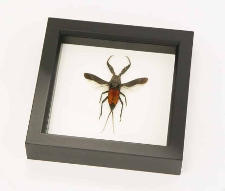 insect shadowbox toe biter