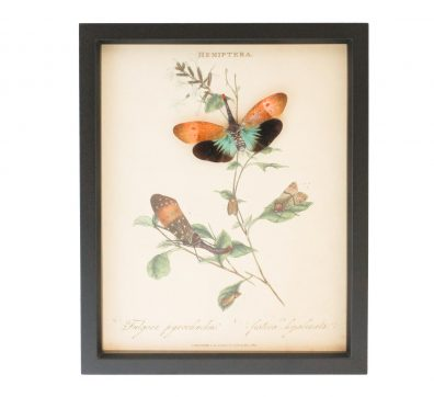 Lanternfly Victorian Insect Display