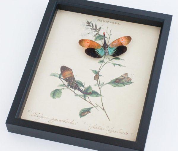 natural history lanternfly