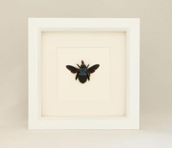 carpenter bee taxidermy
