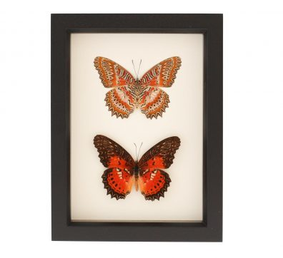 Leopard Lacewing Butterfly Collection