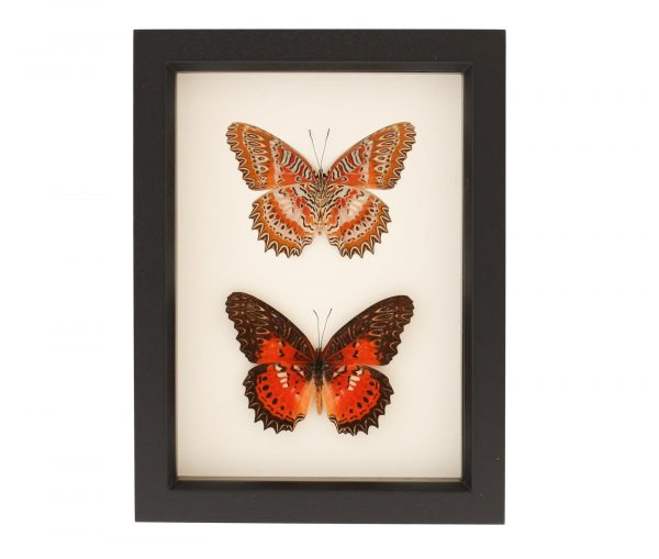 leopard lacewing collection