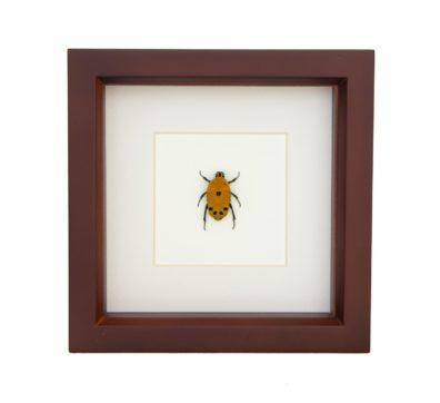 Framed Flower Beetle (Euchroea Auripimenta)