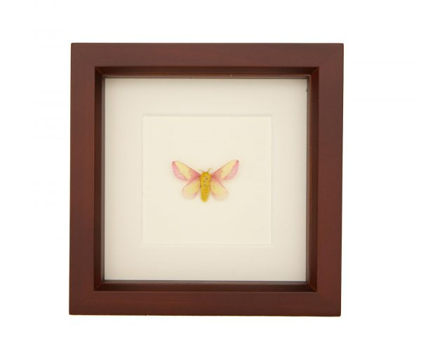 framed Dryocampa rubicunda