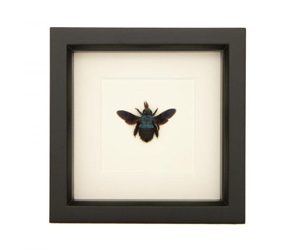 framed blue carpenter bee