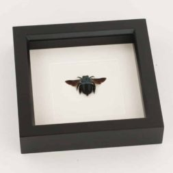 framed carpenter bee