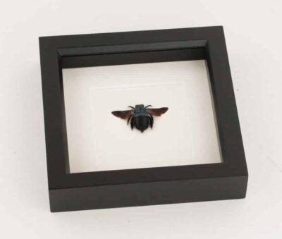 framed carpenter bee