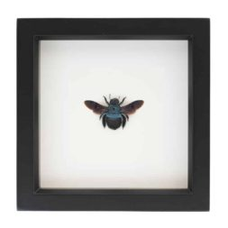 framed bee display