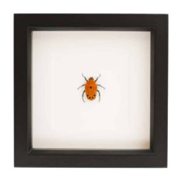 framed flower beetle