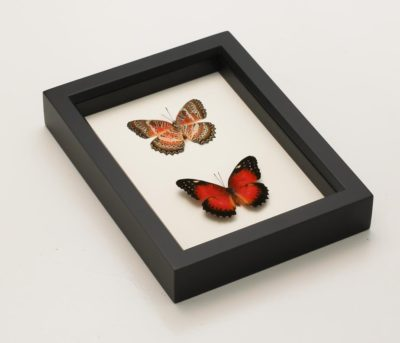 framed leopard lacewing collection