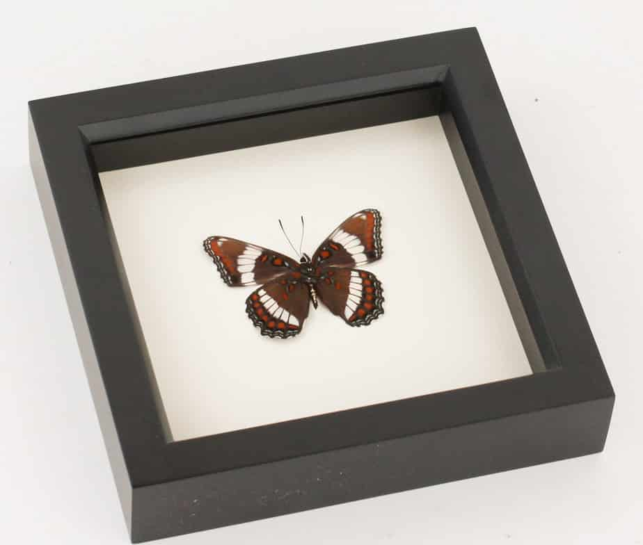 White Admiral or Red-spotted purple