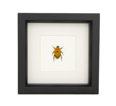 framed rose chafer