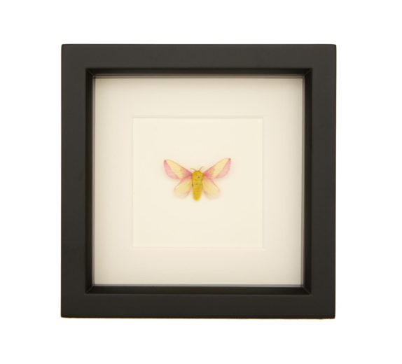 framed rosy maple moth