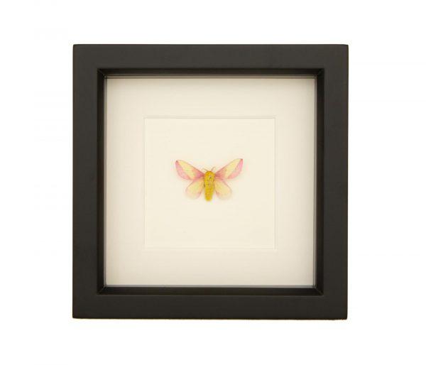 framed rosy maple moth