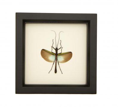 Framed Green Walking Stick (Orthomeria species)