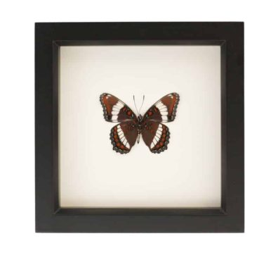 framed white admiral