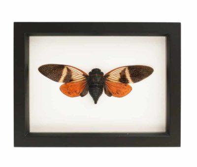 mounted cicada