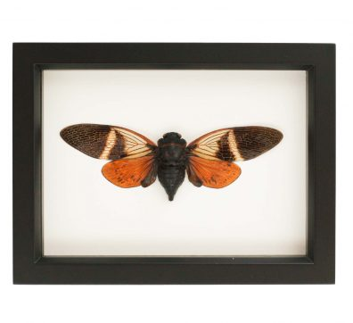 Framed Orange Tropical Cicada (Angamiana floridula)
