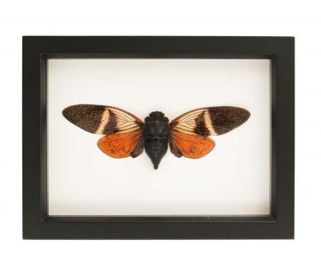 tropical cicada framed