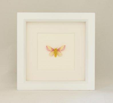 Framed Rosy Maple Moth (Dryocampa rubicunda)