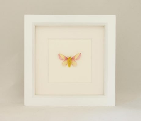 rosy maple moth species for sale