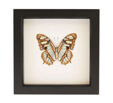 Framed Malachite Butterfly underside (Siproeta stelenes)
