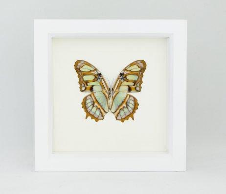 green malachite butterfly