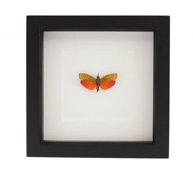 Framed Spotted Lanternfly (Saiva cardinalis)