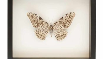 white witch moth