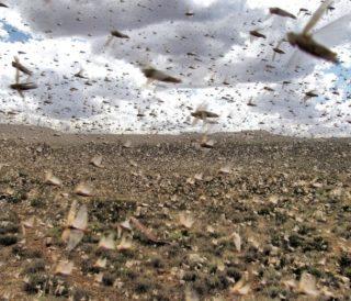 locust plaque
