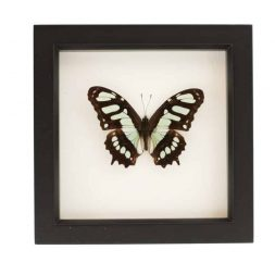 framed malachite butterfly
