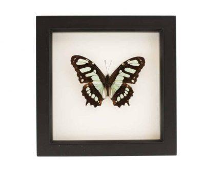framed malachite butterfly
