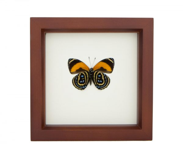 88 butterfly taxidermy