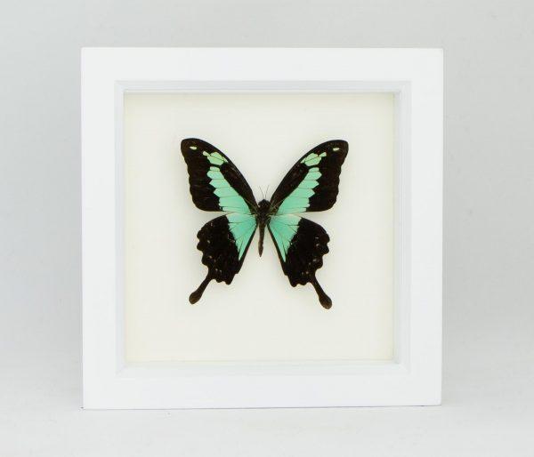 apple green swallowtail display