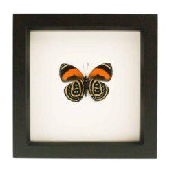 framed 88 butterfly