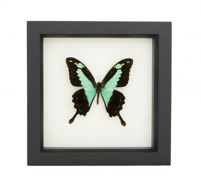 Framed Apple Green Swallowtail (Papilio phorcas)