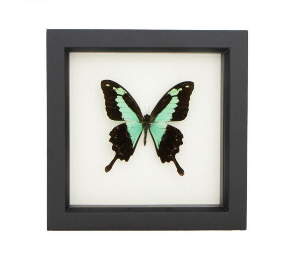 framed papilio phorca