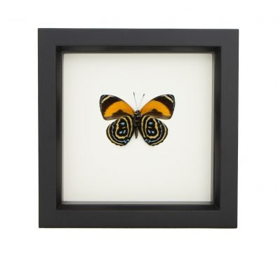 Framed 88 Excelsior Butterfly Underside (Callicore pastazza)