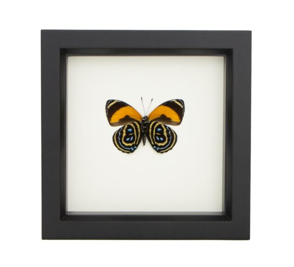 mounted butterfly 88