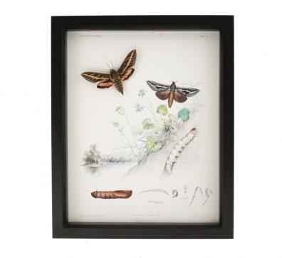Hawk Moth Life Cycle Victorian Display