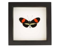 framed postman butterfly