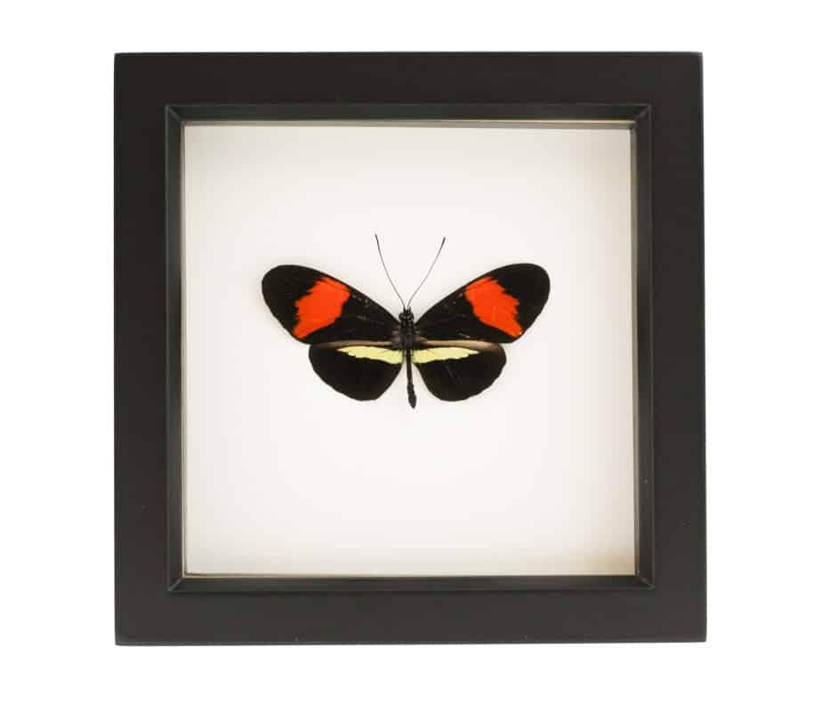 framed postman butterfly