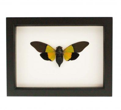 Framed Trengganua sybylla Cicada
