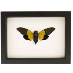 mounted cicada display