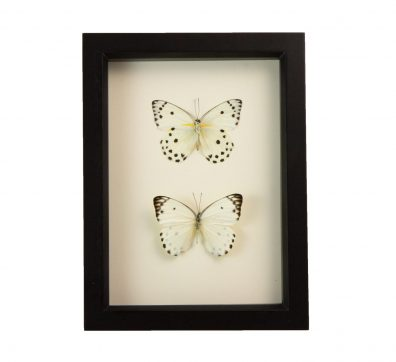 Framed Calypso White Butterfly Collection