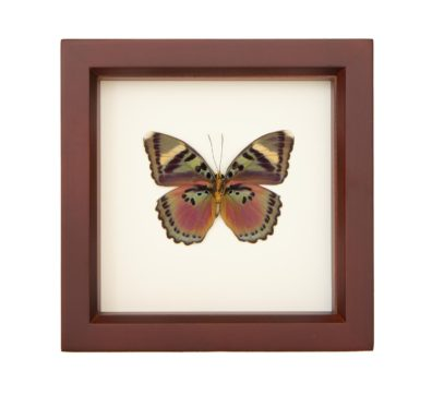 Framed Pink Forester Butterfly (Euphaedra xypete)